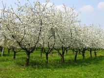 Cherry orchard 1. Spring cherry orchard, Ratiborice village, Czech republic Royalty Free Stock Photography