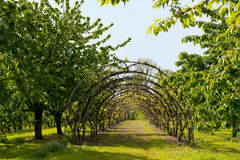 Cherry orchard Royalty Free Stock Images