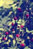 Cherry Orchard Imagen de archivo libre de regalías