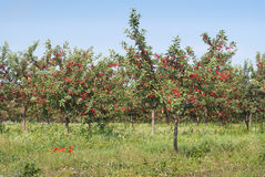 Cherry  orchard Stock Images
