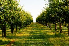 Cherry orchard. Rows of trees in cherry orchard Royalty Free Stock Photo