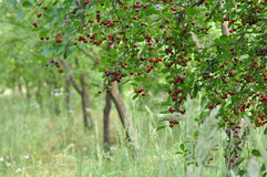Cherry Orchard royaltyfri bild