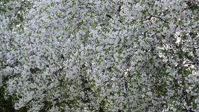 Cherry Orchard abundantly blooming in spring. Cherry Orchard abundantly blooming in a spring stock footage
