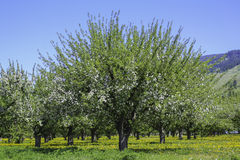 Cherry Orchard. Beautiful cherry trees in full bloom growing in perfect lines Royalty Free Stock Images