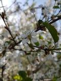 Cherry Orchard immagini stock libere da diritti