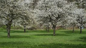 Cherry orchard bloom meadow wide 180 degrees. Shot stock video
