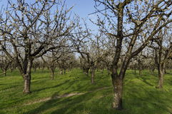 Cherry orchard in blossom through springtime, look from near Royalty Free Stock Photography