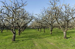 Cherry orchard in blossom through springtime, look from near Stock Photography