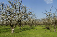 Cherry orchard in blossom through springtime, look from near Royalty Free Stock Image