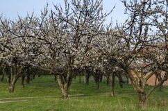 Cherry orchard in blossom through springtime, look from near Royalty Free Stock Images
