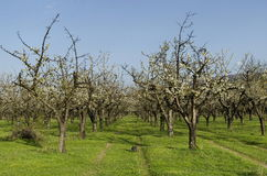 Cherry orchard in blossom through springtime, look from near Stock Image