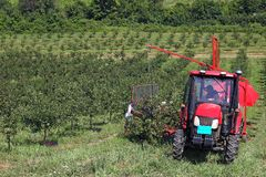 Cherry orchard farmers with harvesting machine Stock Photo