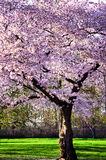 Cherry orchard at full bloom Royalty Free Stock Photo