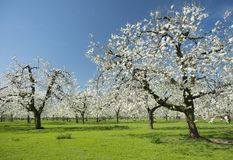 Cherry orchard in full bloom under blue spring sky with green grass in holland. Cherry orchard in full bloom under blue spring sky with green grass in the royalty free stock images