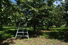 Cherry orchard ladder Royalty Free Stock Photos