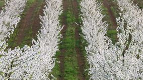 Cherry orchard landscape agriculture spring