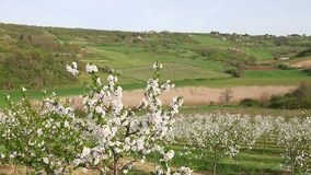 Cherry orchard landscape spring season. Agriculture stock video footage