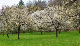 Cherry orchard park sakura trees in bloom spring panorama Stock Images