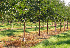 Cherry Orchard. A photograph of cherry orchard planted with young cherry trees in Michigan Stock Images