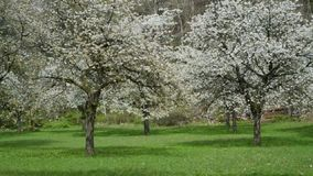 Cherry orchard sakura trees in bloom. Static view stock video