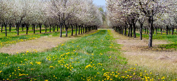 Cherry orchard in southwest michigan Stock Photo