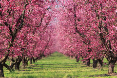 Cherry Orchard in Spring. Cherry blossoms in full bloom at an orchard in spring, fading into a blur in the distance Stock Images