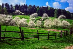 Cherry orchard in the spring. Illustrations royalty free stock photography