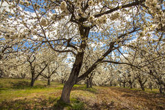 Cherry Orchard in the Spring Royalty Free Stock Photography