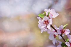 Cherry Orchard in the spring morning. Branches of flowering cherry in the rays of the rising sun. Clear blue sky and young foliage royalty free stock photo