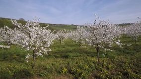 Cherry orchard spring season. Agriculture stock video