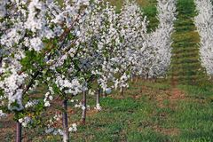 Cherry orchard spring season landscape Stock Photos