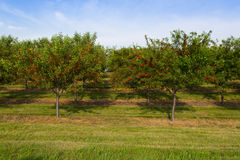 Cherry orchard Stock Image