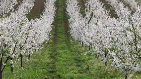 Cherry orchard trees landscape spring season. Agriculture stock footage