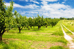 Cherry Orchard Royalty Free Stock Photos