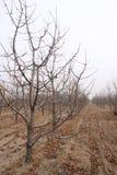 Cherry orchard Stock Photos