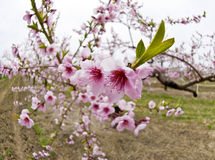 Cherry Orchards in the Spring Stock Images