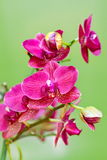 Cherry orchid phalaenopsis. Isolated on green background Royalty Free Stock Photos