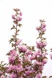 cherry orientalna Zdjęcia Stock