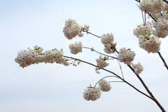 cherry orientalna Fotografia Royalty Free