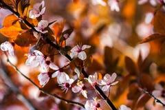 cherry orientalna Zdjęcie Royalty Free