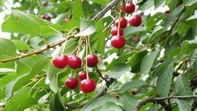 Cherry p? en tree Olikt vinklar och skytteavstånd arkivfilmer