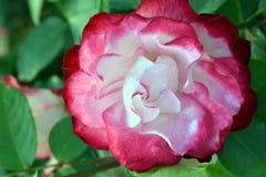 Cherry Parfait Rose Flower na luz solar Imagens de Stock Royalty Free