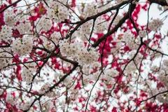 Cherry and peach blossoms at Shinjuku Gyoen,Tokyo,Japan. Stock Photography