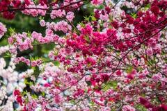 Cherry and peach blossoms at Shinjuku Gyoen,Tokyo,Japan. Stock Photo
