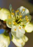 Cherry petal close up Royalty Free Stock Photos