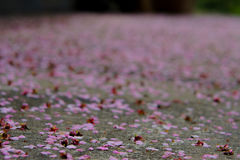 Cherry Petals Falling To The Ground Stock Image