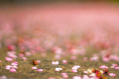 Cherry Petals Falling To The Ground Royalty Free Stock Images