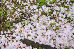 Cherry petals on grass Stock Photography