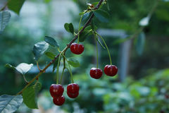 Cherry. This photo was taken in Toksovo, Leningrad region, Russia Stock Image