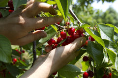 Cherry picking Stock Photos